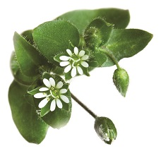 Chickweed leaf