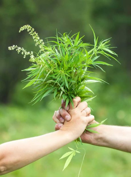 two hands holding a hemp plant