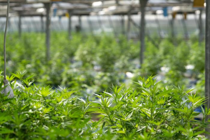 CBD-Plants-Greenhouse